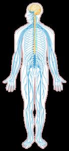 Central Nervous System Wikimedia
